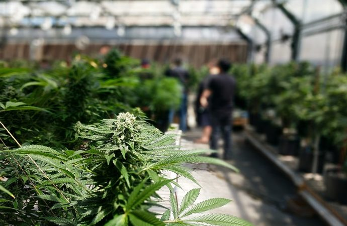 Businesses looking to apply for a cannabis cultivation license can benefit from these key tips